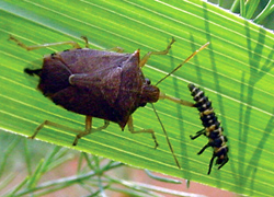 Hemiptera: Pentatomidae Spined soldier bug   (Podisus maculiventris)