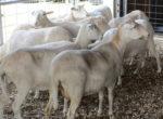St. Croix sheep