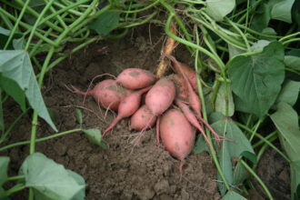 Harvested sweet potatoes on the ground