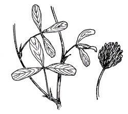 BERSEEM CLOVER (Trifolium alexandrinum)