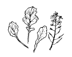 Rape or Canola (Brassica rapa)