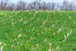 cover-crop-in-corn_remsberg.jpg