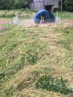 cover crops for forage