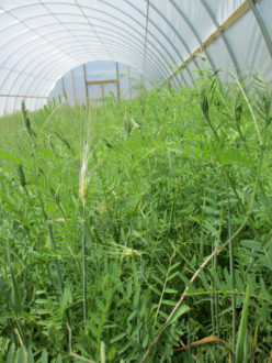 cover crop mix in a high tunnel