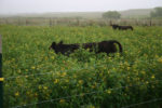 cows in pigeon pea