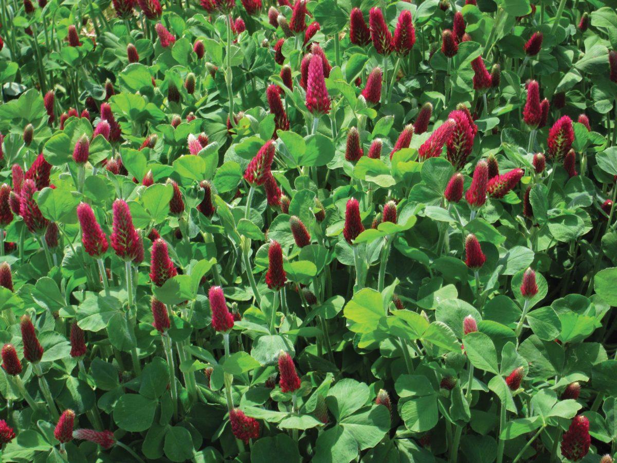 Field of crimson clover