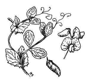 FIELD PEAS (Pisum sativum subsp. arvense)