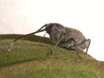 Peecan weevil
