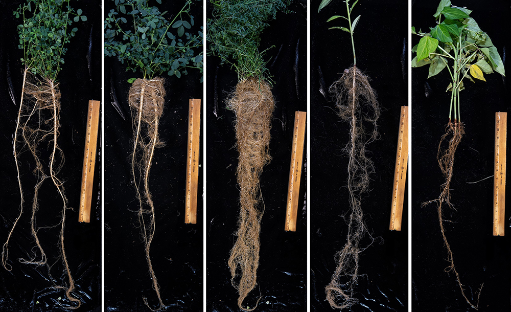 Legume root systems