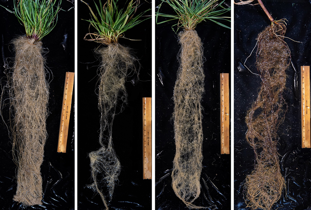 Root systems of grass cover crops