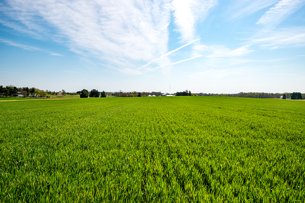field of Rye cover crops