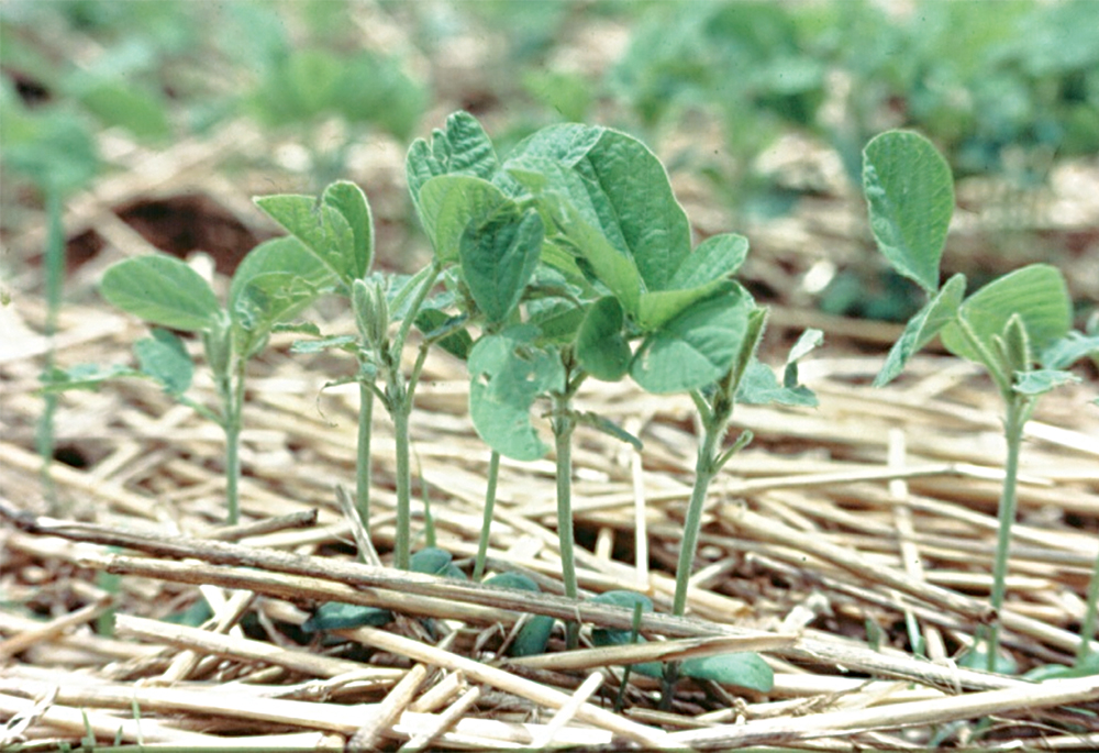 closeup of soybeans grown in oat cover crop mulch