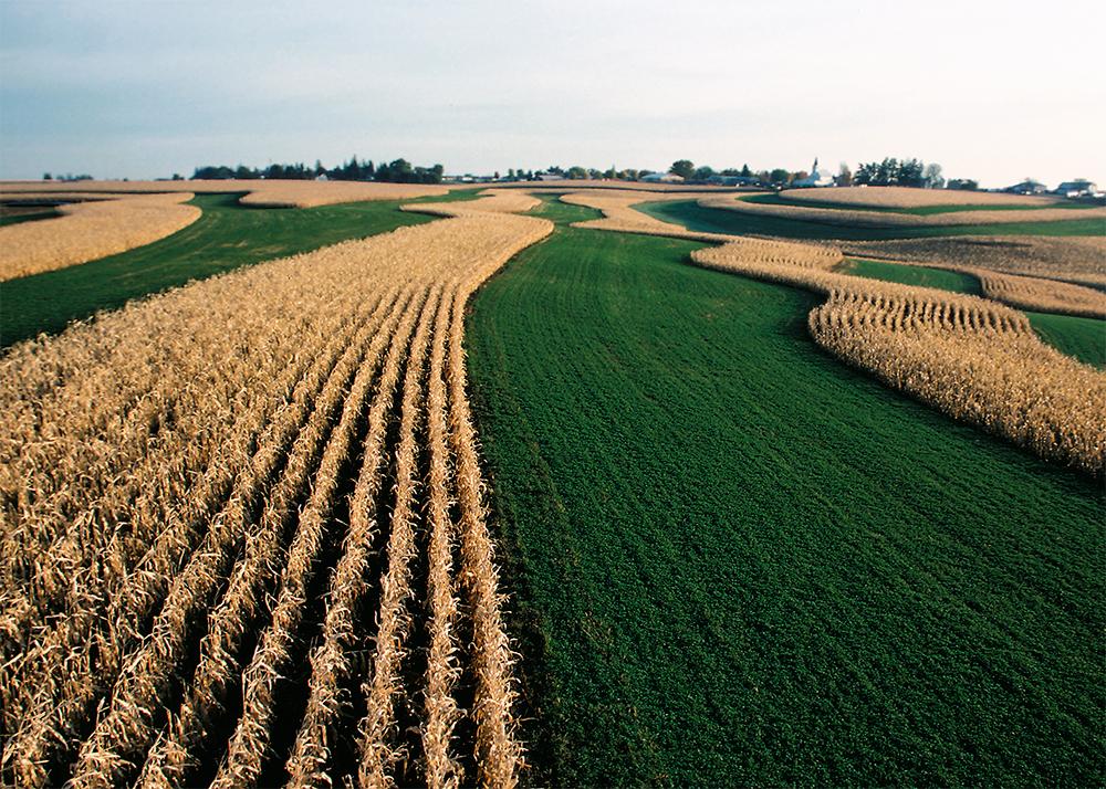corn and alfalfa grown in rotation