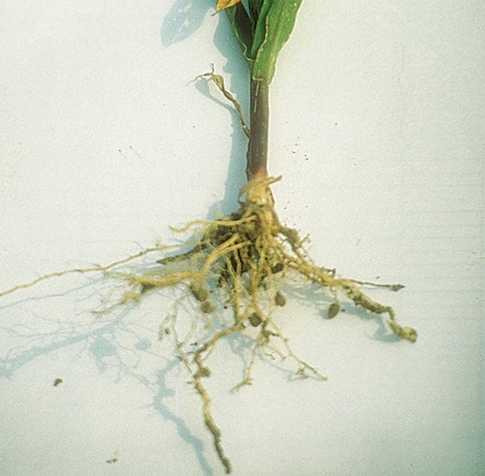 Corn roots from the compacted surface layer