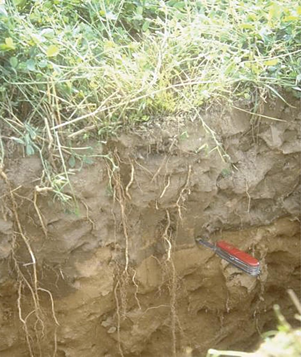 deep alfalfa grass roots
