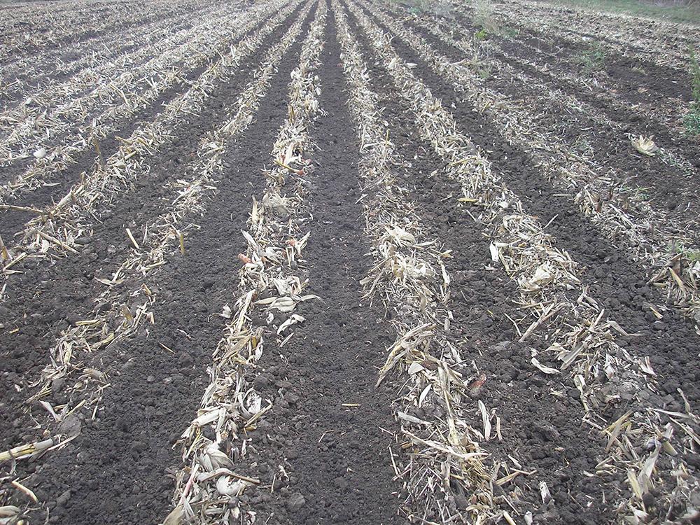 strip till after corn harvest