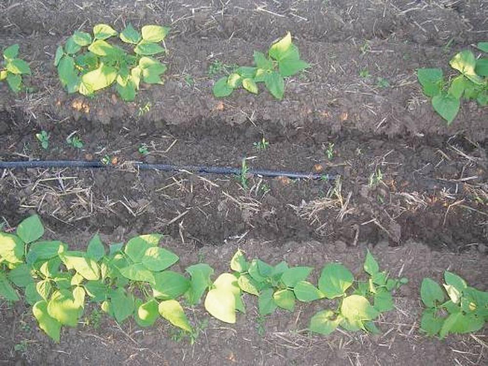 drip irrigation for bean plants