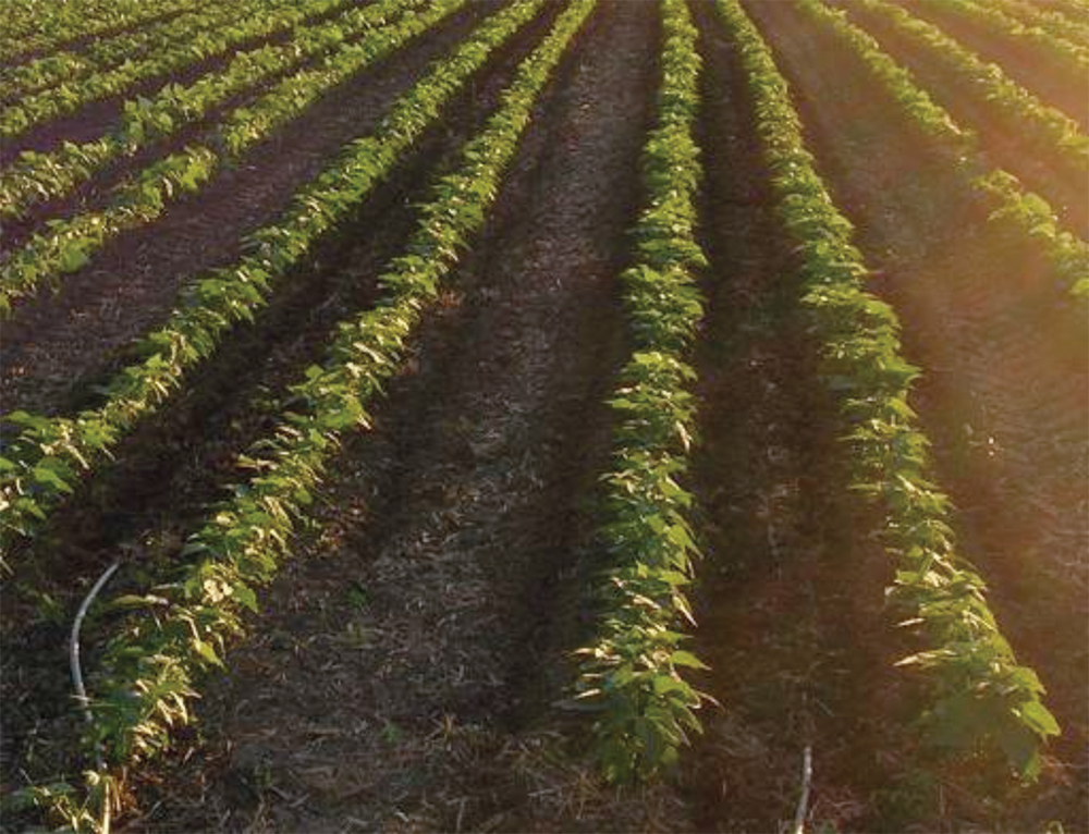 drip irrigation for bean plants with twin rows