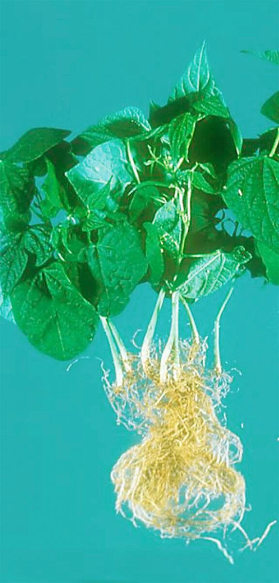 organic root rot