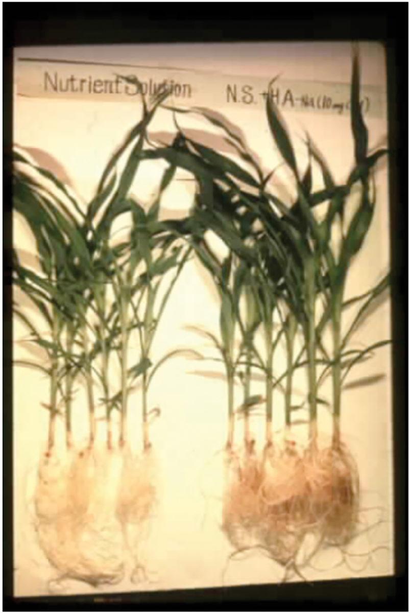 comparing corn growth