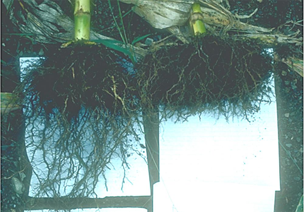 corns root in soil