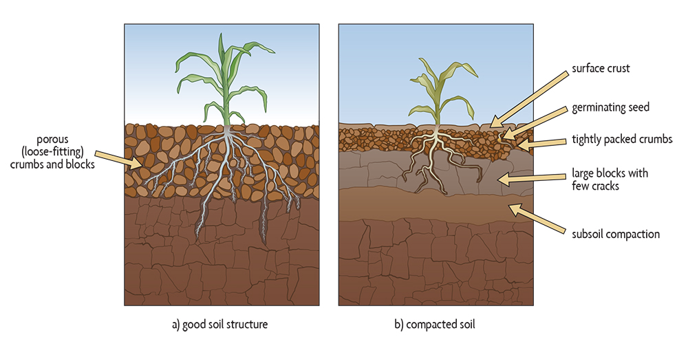plants growing with different soil compaction