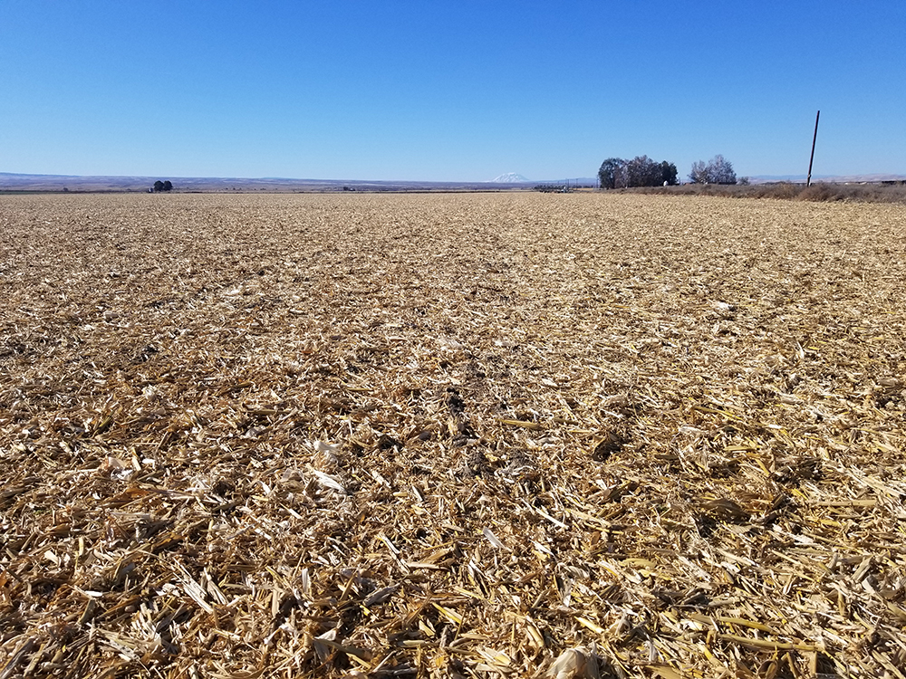 corn residues after harvest
