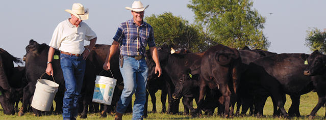 Two men carrying buckets in front of cattle