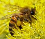 honeybeecropped.jpg