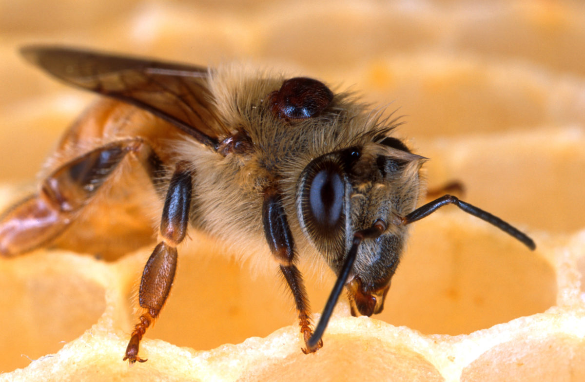 Honey bee with a Varroa mite on its back.