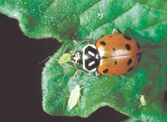 Lady beetles, such as this one preying on an aphid, are used widely by organic growers to control pests. See University of California organically acceptable recommendations pest management guidelines at www.ipm.ucdavis.edu/.