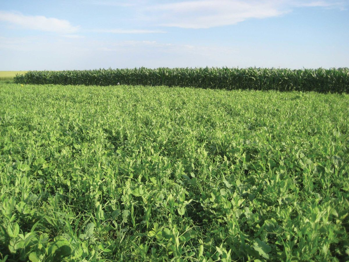 A field of a multispecies cover crop