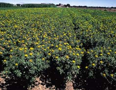 University of California- Davis researchers comparing long-term farming systems found that organic safflower yields equaled conventional safflower over 10 years.