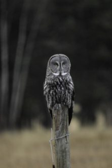 an owl on a fence post in a field