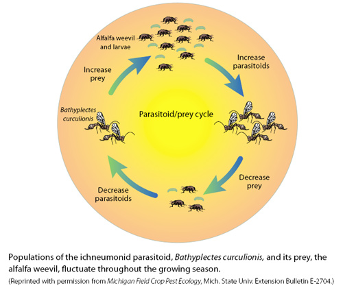 the parasitoid prey cycle