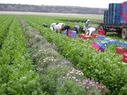 Workers harvest celery next to a strip of bachelor button flowers planted to attract beneficial insects.