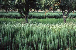 A rosemary cash crop teams with flowering buckwheat, which improves the soil and attracts beneficials, in a Brentwood, calif., apricot orchard.