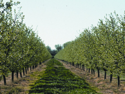 Cover crops in a California orchard reduce soil erosion and contribute to overall farm diversity.