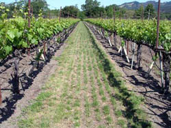A mixture of perennial rye and chewings fescue helps moderate vigorous vine growth in deep valley soils. Grasses go dormant in the summer and begin growing again in the fall. See page 30.
