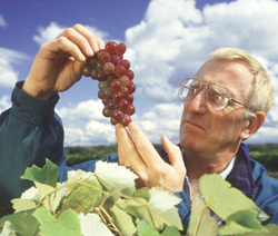 Horticulturist Philip Forsline examines hybrid grapes developed in a USDA breeding program.