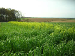 Steve Groff's cover crop of cereal rye and flowering rapeseed provides multiple benefits compared to neighboring plowed fields.