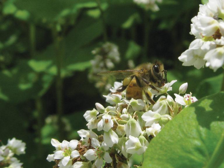 honeybee on buckwheat