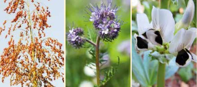 Teff grain, phacelia and a fava bean flower