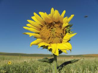 sunflower in South Dakota