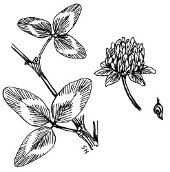 RED CLOVER is an annual or multi-year legume that improves topsoil. It is easily overseeded into standing crops or frostseeded into grains in early spring.
