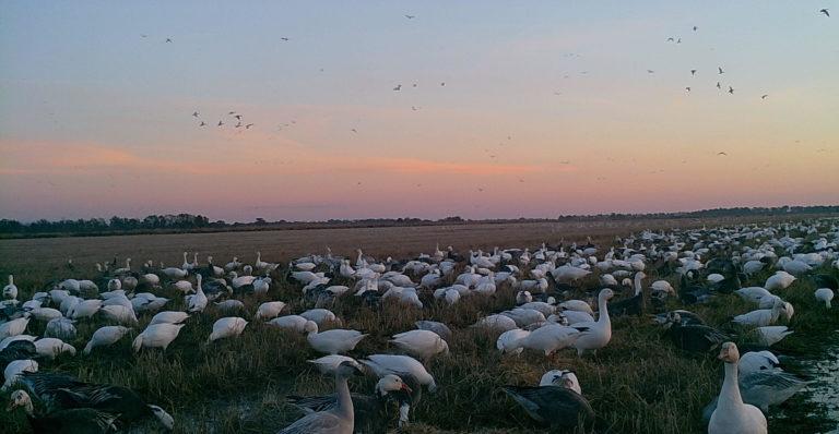 birds in a rice field