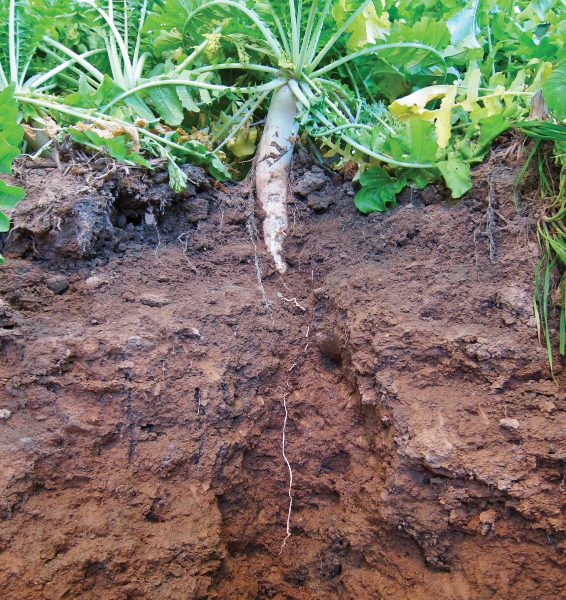 Soil profile showing a radish growing into the ground
