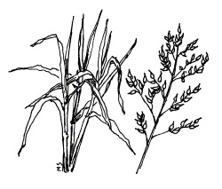 SORGHUM-SUDANGRASS (Sorghum bicolor X S. bicolor var. sudanese