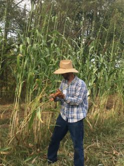 stripping sorghum in the field