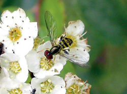 Diptera: Syrphidae Syrphid fly